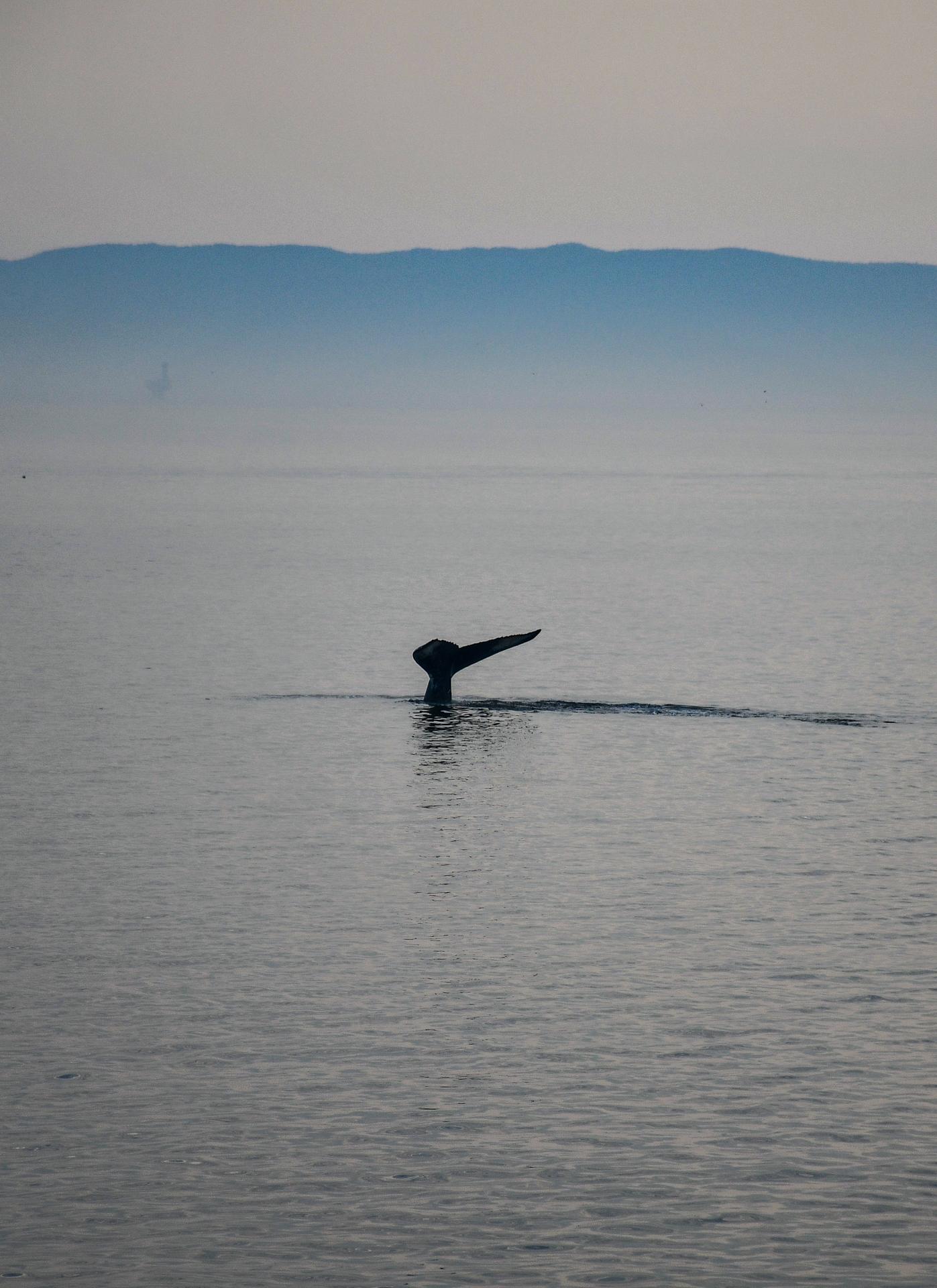 Bruma sobre el río Saint-Laurent y una ballena deja ver su cola. Parque Marino Saguenay-Saint-Laurent, Quebec, Canadá.