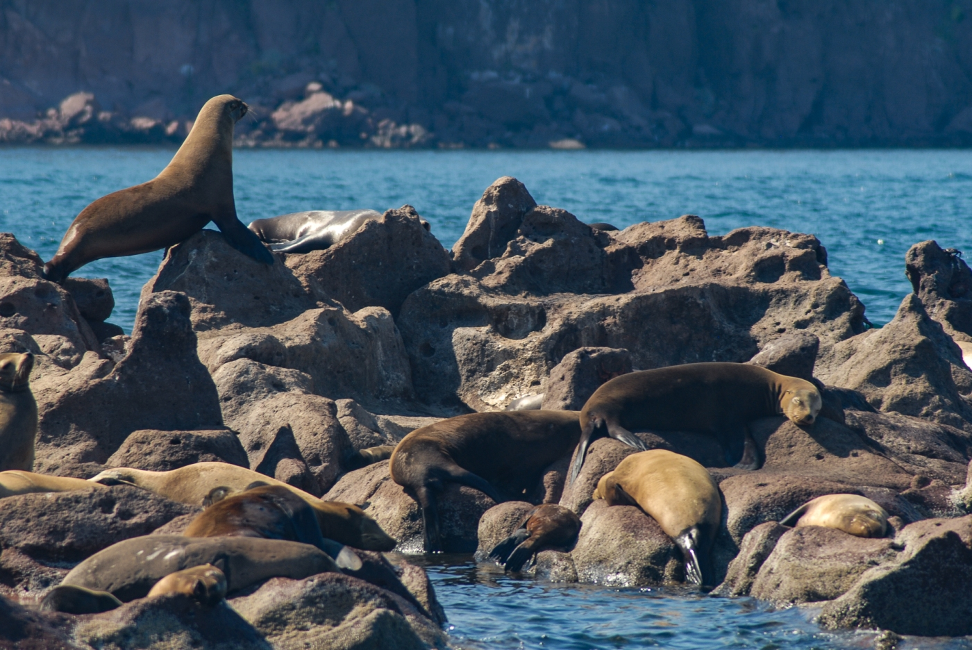 Lobos marinos en el archipiélago Espíritu Santo, Mar de Cortés, México.
